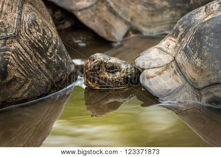 Galapagos giant tortoise in pond behind another