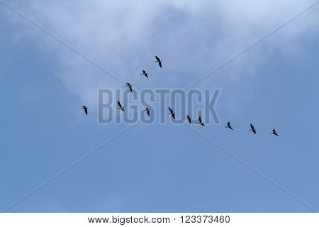 A Flock Of Geese Migrating Birds Flying Through The Sky. Cant Geese Returned From Warm. Birds Fly Aw