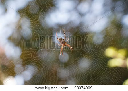 Spider Araneus diadematus in the centre of spiderweb with green blurred background