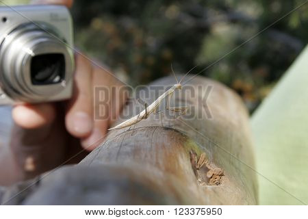Photographer Takes A Praying Mantis In The Wild. Photo Hunting For Insects Mantis Who Stands On The