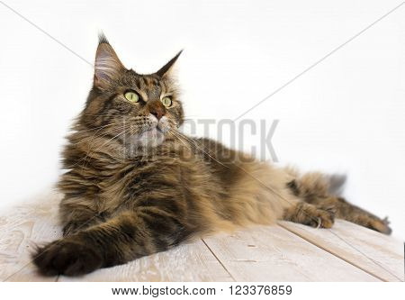 Maine Coon lies on a wooden table and looking away close-up