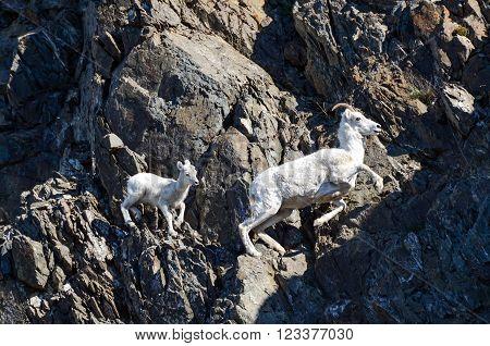 Dall Sheep Lamb follows the Ewe along the cliffs