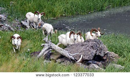 Group of Dall Sheep Rams in Alaska