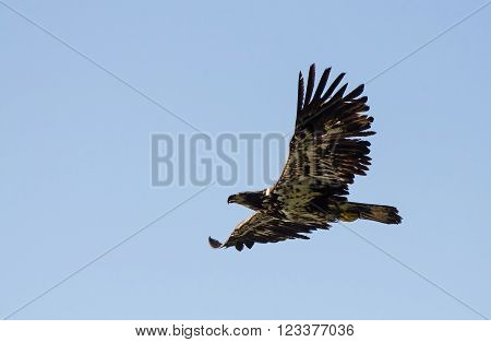 Juvenile bald eagle flys over a fishing area