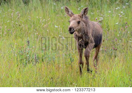 Moose calf walking through grass in Alaska