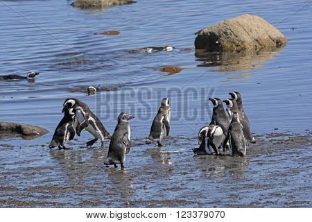 Penguins on the Otway Sound in Patagonia in Chile