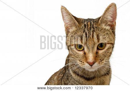 Closeup Of A Young Tabby Kitten