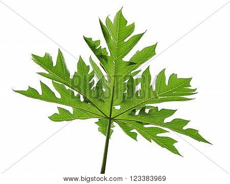 Papaya palmate leaf isolated on white background