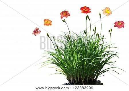 Daylily flower plants isolated on white background