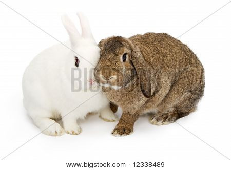 Two Rabbits With Faces Touching