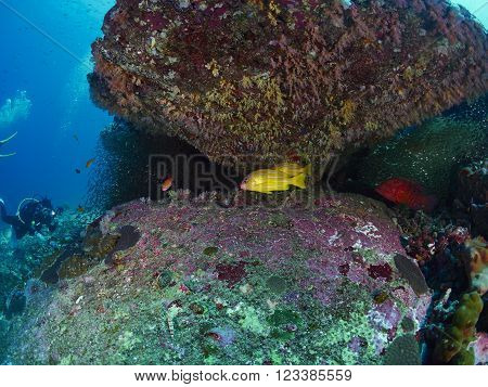 blue-stripe snappers and coral grouper in similan Thailand