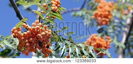 image of many ashberry with leafs on sky background september