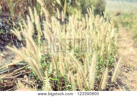 grass flower background with the sunset light ** Note: Shallow depth of field