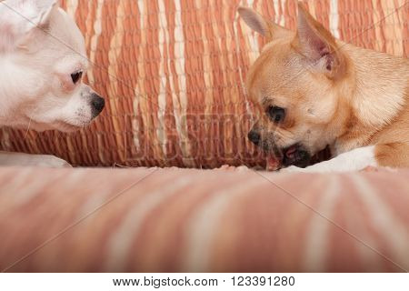 Two Chihuahua dogs  with chewy treat lying on sofa, 4 months old cinnamon puppy and 3 years old white female.