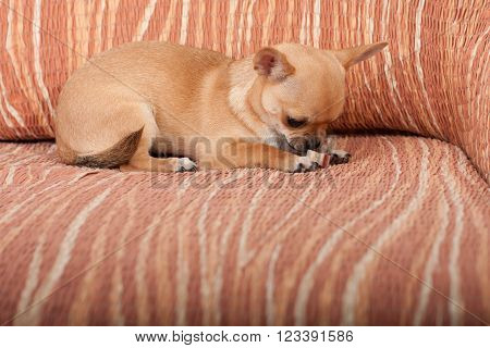 Chihuahua Puppy Lying On Sofa, 4 Months Old Female