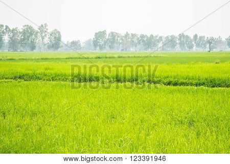 Rice field green grass for the background ** Note: Shallow depth of field