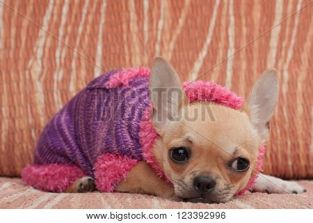 Chihuahua Puppy Dressed With Pullover Lying On Sofa