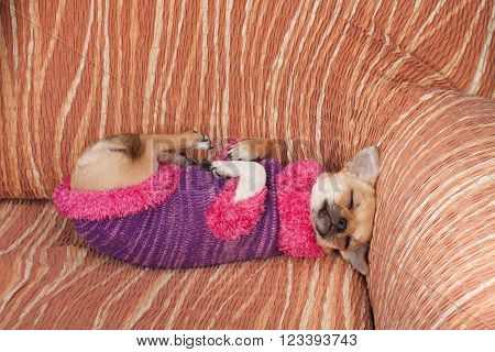 Chihuahua Puppy Dressed With Pullover Sleeping On Her Back On So
