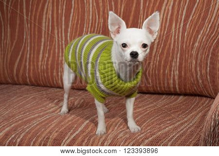 White Chihuahua  Dressed With Pullover Standing  On Sofa