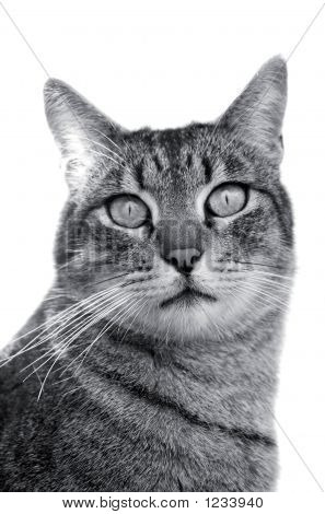 Handsome Grey Tabby