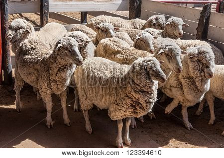 Sheep in the stable in rural Argentina