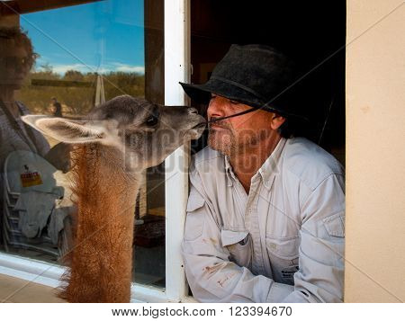 Puerto Madryn, Argentina - December 13, 2012: Gaucho, Argentinian cowboy, and his llama on the farm near Puerto Madryn, Patagonia, Argentina.