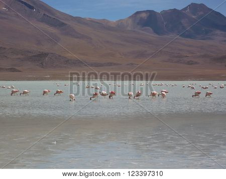 Feeding pink flamingos in a lake with the Andes mountains in the background