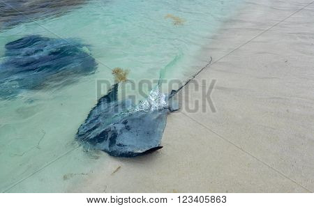 Wild eagle ray and smooth ray, stingrays, in the Indian Ocean waters at Hamelin Bay in Western Australia.