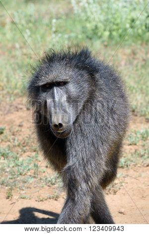 Baboon Portrait, Namibia