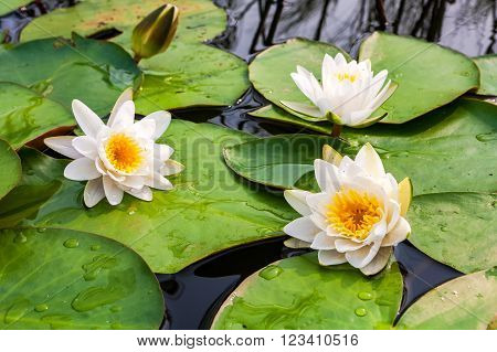 White water lily flowers with big green leaves