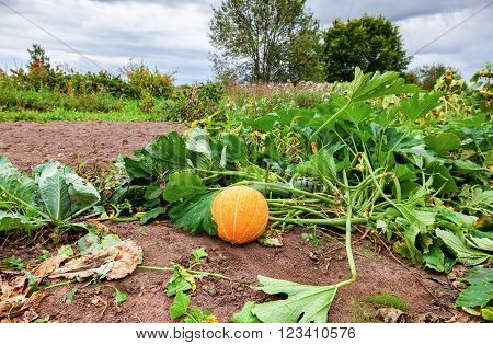 Orange pumpkin with big green leaves growing on the vegetable patch