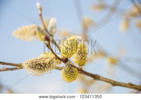 Pussywillow branches (Salix caprea) in early spring nature. Pussy-willow branch and Blue Sky macro.