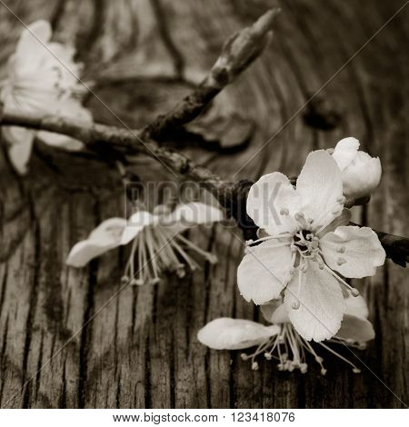 blooming branch of plum tree against the background of an old cracked wooden board. Selective focus. square photo. black white toning