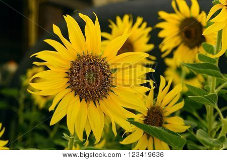 Sunflower , Clouse up of sun flower  fields in the central area of the country.