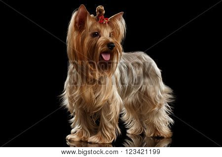 Yorkshire Terrier Dog Standing on Mirror groomed hair isolated on Black background