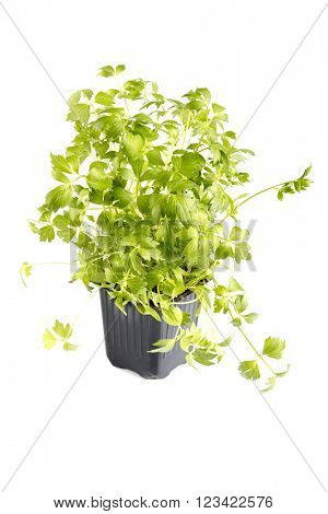 Green lovage in pot isolated on white background