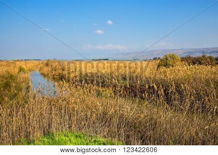 Lake Hula is a wintering place for migratory birds. Dense thickets of marsh grass. Park Hula Nature Reserve, Israel, December