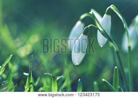 Snowdrops (Galanthus nivalis) Flowers in spring season. Beautiful natural blurred background with sun rays.