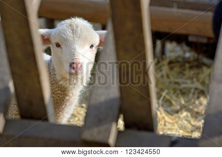 newborn lamb on the farm in the spring time