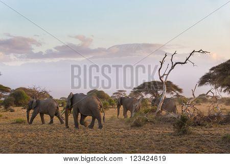 Elephant herd in Amboseli national park in Kenya. Mt. Kilimanjaro in Tanzania can be seen in background.