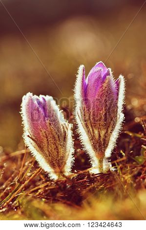 Beautiful blooming spring flowers in the meadow at sunset. Natural colored blurred background. Pasque Flowers - Pulsatilla grandis.