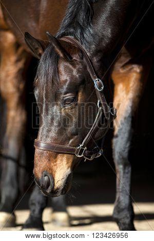 attentive dark brown horse on black background