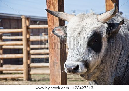 Ukrainian Horned Cattle