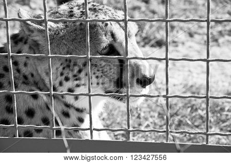 Cheetah Behind Wire Netting