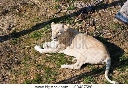 White Lioness Lying On Ground