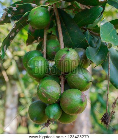 Green macadamia nut on tree in garden