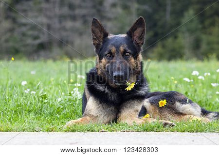 Sweet dog with yellow flower say sorry