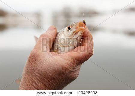 Roach in fisherman's hand caught on bloodworm bait