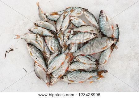 Fresh catch - a lot of fish, mainly roaches, on snow