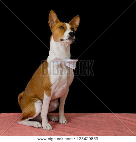 Studio portrait of brave Basenji dog wearing bow-tie